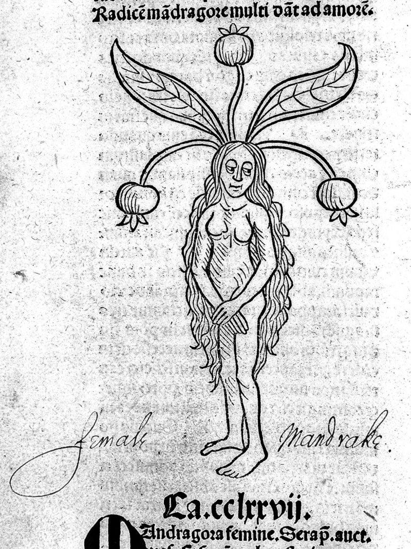 Rappresentazione medievale di una mandragola femmina