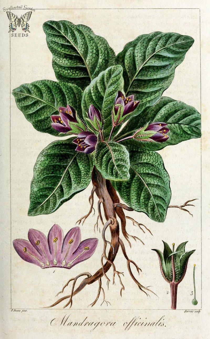 Mandragora officinarum, raffigurazione del XIX secolo