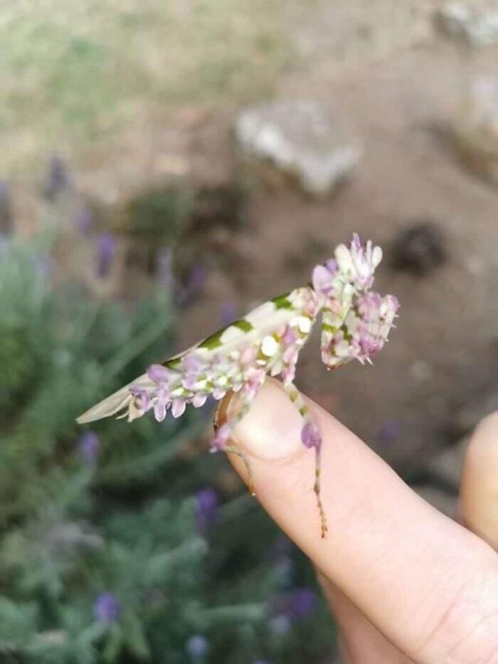 mantide fiore