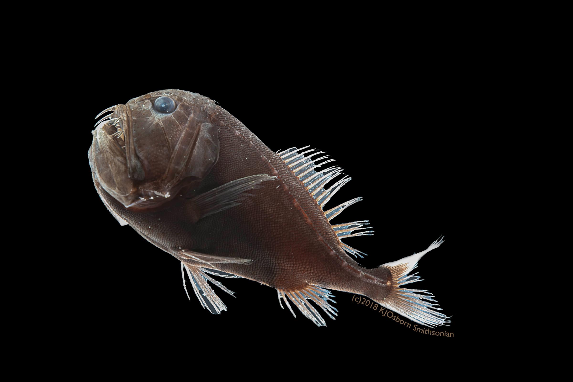 Anoplogaster cornuta