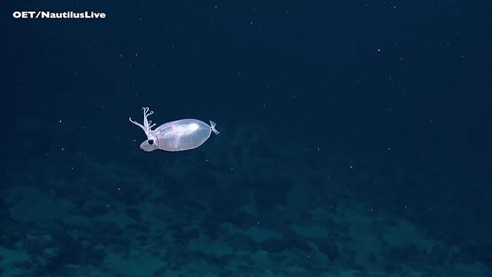 Calamaro maialino